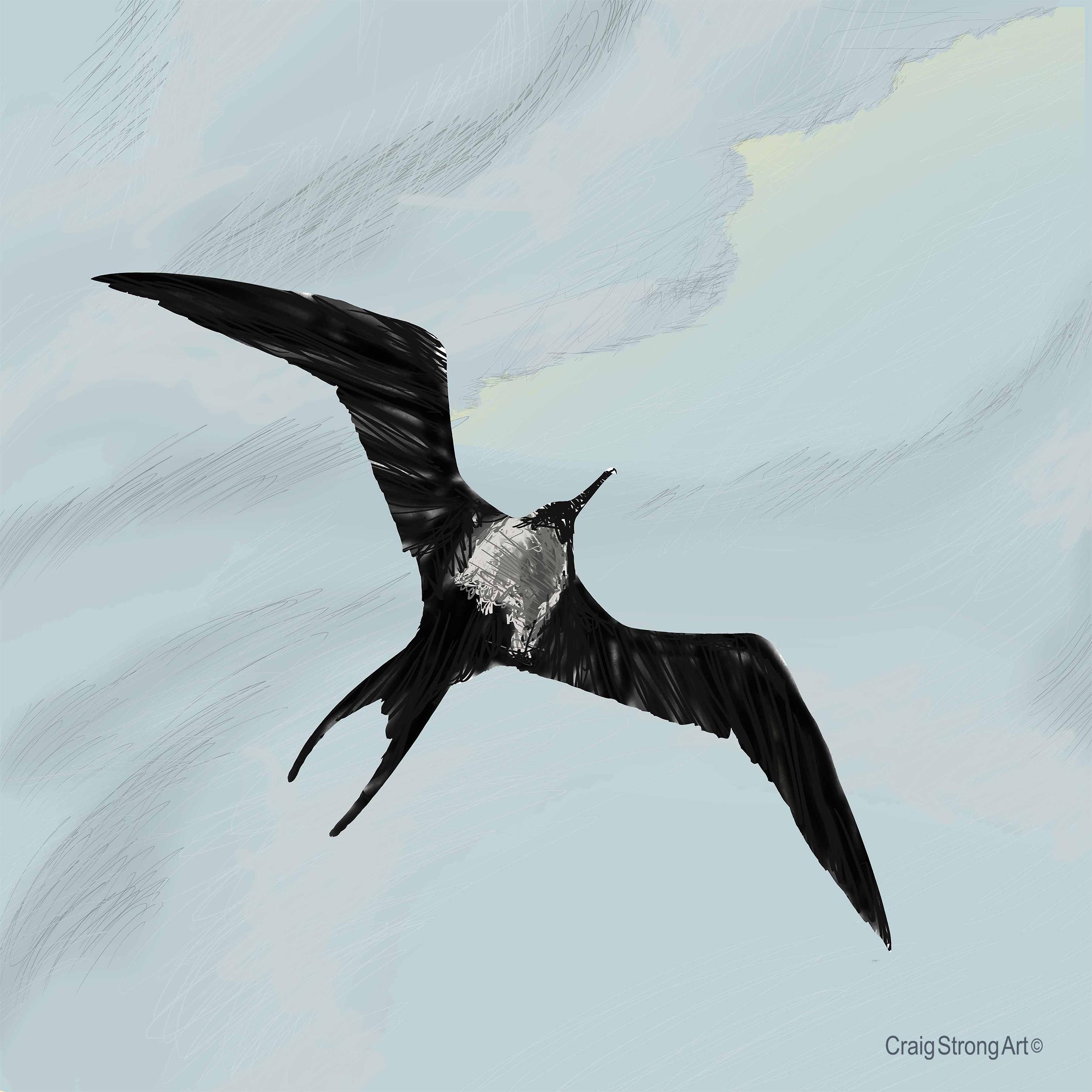 Frigate Bird (female)