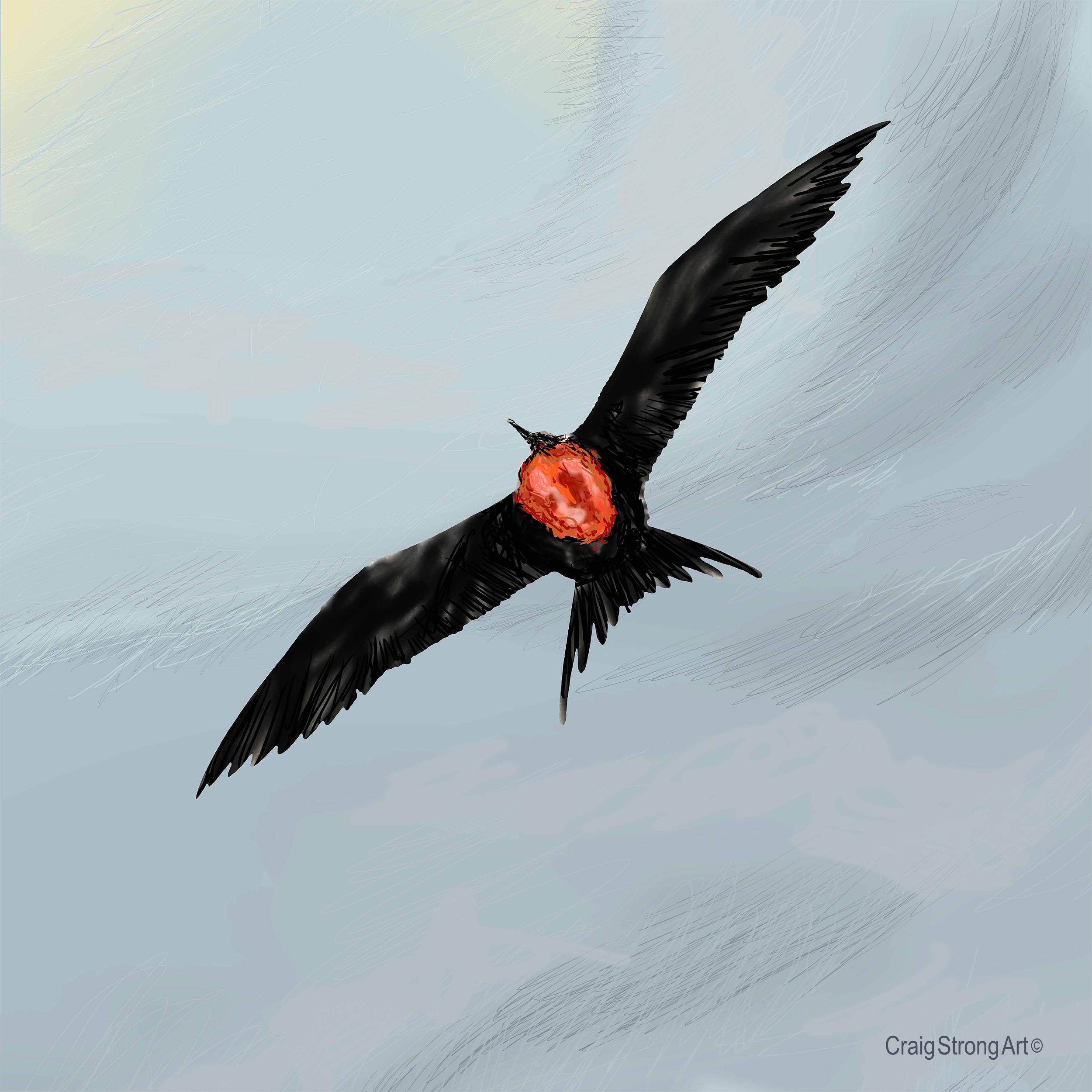 Frigate Bird (male)